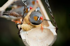Zebra finch at Bloedel Conservatory royalty free stock image