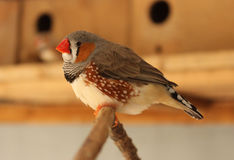 Zebra Finch. Close up of a red beaked zebra finch Royalty Free Stock Photography