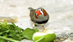 Zebra finch. A colorful male zebra finch sitting on ground Stock Images