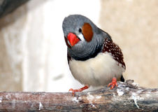 Zebra finch Stock Image