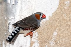 Zebra finch. A colorful male zebra finch standing on the wall and waiting to fly Stock Images