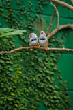 Zebra finch couple (Taeniopygia guttata) Stock Images
