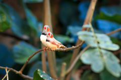 Zebra finch couple (Taeniopygia guttata) sitting on a branch Royalty Free Stock Image