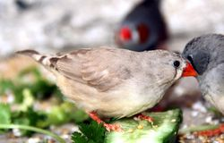Zebra finch. Eating vegetable and cucumber Stock Photo