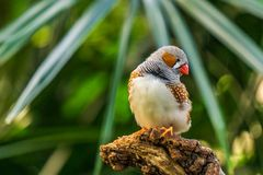Zebra finch Exotic birds and animals in wildlife in natural setting.  royalty free stock photo