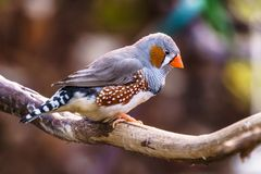 Zebra finch Exotic birds and animals in wildlife in natural setting.  stock photography