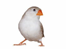 Zebra Finch (female)  isolated on white Stock Photo