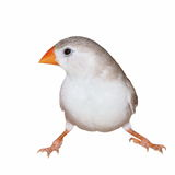 Zebra Finch (female)  isolated on white Royalty Free Stock Image