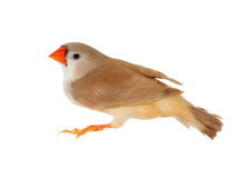 Zebra Finch female, isolated on white background with clipping path Stock Images
