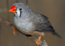 Zebra Finch female (Taeniopygia guttata) Royalty Free Stock Image