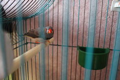 The Zebra Finch . Stock Images