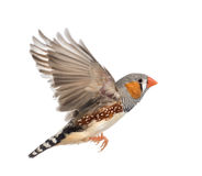 Zebra Finch flying, Taeniopygia guttata Royalty Free Stock Photos