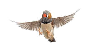 Zebra Finch flying, Taeniopygia guttata. Against white background royalty free stock photo