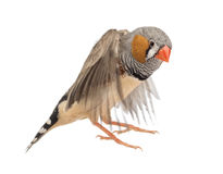 Zebra Finch flying, Taeniopygia guttata. Against white background stock image