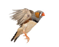 Zebra Finch flying, Taeniopygia guttata. Against white background stock photography