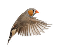 Zebra Finch flying, Taeniopygia guttata. Against white background stock images
