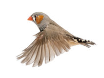 Zebra Finch flying, Taeniopygia guttata. Against white background stock photo