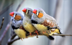 Zebra Finch Stock Photo