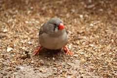 Zebra Finch bird on grains Royalty Free Stock Image