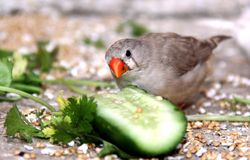 Zebra finch. A grey female zebra finch eating vegetable and cucumber Stock Photos