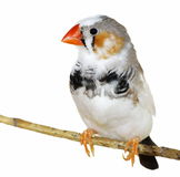 Zebra Finch isolated on white Royalty Free Stock Photos