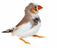 Zebra Finch isolated on white Royalty Free Stock Images