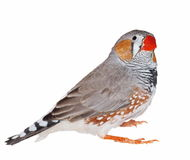 Zebra Finch isolated on white Royalty Free Stock Image