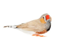 Zebra Finch isolated on white background with clipping path Stock Photo