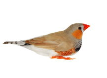 Zebra Finch isolated on white background with clipping path Stock Images