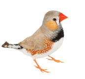 Zebra finch isolated on white background with clipping path Stock Photos