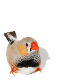 Zebra Finch isolated on white background Stock Image