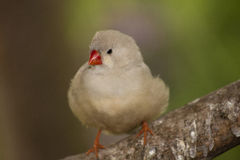Zebra Finch. This little cutie is also ours Stock Photography