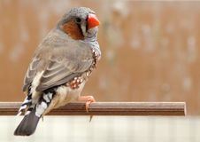 Zebra Finch male sitting Royalty Free Stock Images