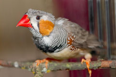 Zebra Finch male (Taeniopygia  Royalty Free Stock Images