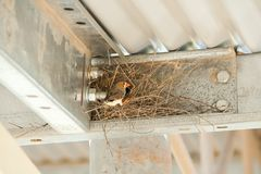 Zebra Finch Nest Immagine Stock Libera da Diritti