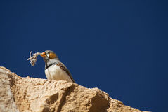Zebra Finch Nesting. A male zebra finch with nesting material in his beak atop a stone against a deep blue sky Royalty Free Stock Images