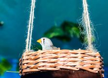 Zebra finch with an orange beak sits in an artificial wicker nest suspended from a hemp rope royalty free stock photos