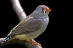 Zebra finch perched on branch Royalty Free Stock Photos
