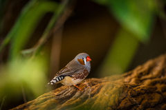 Zebra finch Royalty Free Stock Image