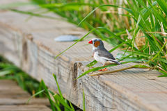 Zebra finch resting on board Stock Photos