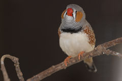 Zebra Finch Stock Photography
