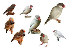 Zebra-finch and Sharp-tailed grass finch. Isolated on a white ba Royalty Free Stock Photography