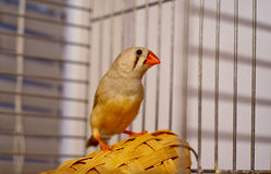 Zebra-finch sitting in a cage Stock Images