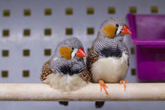 Zebra Finch. Small birds. Zebra Finch. Pair of Small Birds with red beak Stock Image