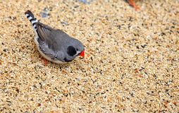 Zebra finch ( Taeniopygia guttata ). A zebra finch ( Taeniopygia guttata ) flaunting its colors and feeding on seeds royalty free stock images