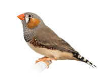 Zebra Finch, Taeniopygia guttata Royalty Free Stock Images