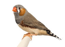 Zebra Finch, Taeniopygia guttata. Against white background royalty free stock images