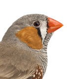 Zebra Finch, Taeniopygia guttata. Against white background stock photo