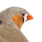 Zebra Finch, Taeniopygia guttata. Against white background royalty free stock photo