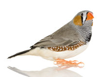 Zebra Finch - Taeniopygia guttata Stock Photos
